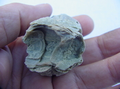 Fossil Barnacles Large Barrels Charlotte County,Fl bn10
