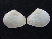 Fossil whole both halves bilvalve shell Raeta plicatella rp8