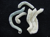Florida fossil worms starter collection or add to your own bw21