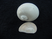 Naticarius plicatella with operculum fossil snail shell af6