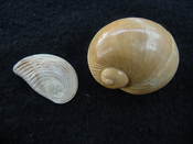 Naticarius plicatella with operculum fossil snail shell af3