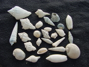 Fossil shell collections small sea shells 25 pieces sp 83