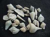 Fossil shell collections small sea shells 25 pieces sp 82