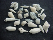 Fossil shell collections small sea shells 25 pieces sp 87