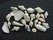Fossil shell collections small sea shells 25 pieces sp 86