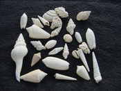 Fossil shell collections small sea shells 25 pieces sp 45