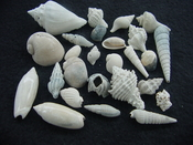 Fossil shell collections small sea shells 25 pieces sp 85