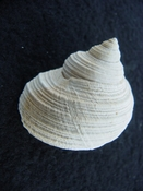 Turbo rhectogrammicus with trapdoor fossil shell gastropod tr 3